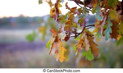 Oak tree branches with autumn foliage. Beautiful blurred...