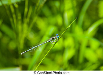 Blue dragonfly on a green bush in summer morning on the...