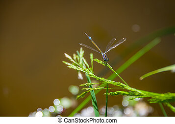 Blue damselfly on a blade of grass - Blue dragonfly on a...