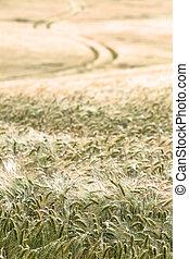 Cornfield Path
