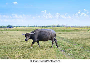 Buffalo on dry field, asia Thailand