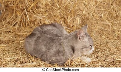 Cat Sleeping On Hay In The Barn.