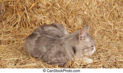 Cat Sleeping On Hay In The Barn. - Grey tabby cat lying on a...