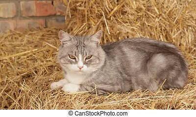 Not Hhungry Cat In The Hay In The Hangar. - Satiated old...