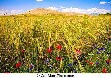 sommer, weizen, landschaftsbild, Feld