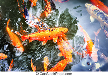 Pond with swimming koi fishes in Japanese garden