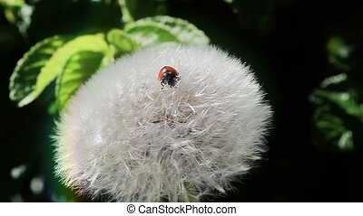 Ladybug on the dandelion