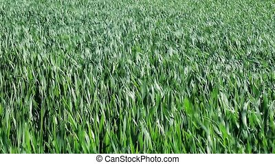 Green cereals field in summer
