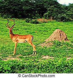antílope,  africa),  (south, selvagem, macho,  impala