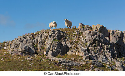 Two welsh sheep on the horizon on rocky hillside The Gower...