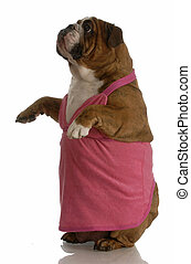 english bulldog wearing pink sundress standing with reflection on white background