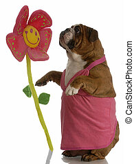 english bulldog female stopping to smell the flowers