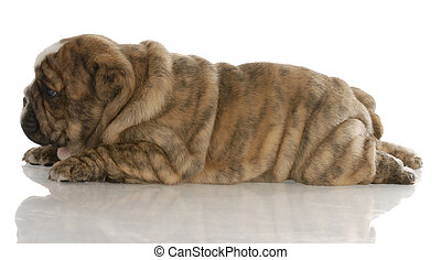 red brindle english bulldog puppy laying down from the side...