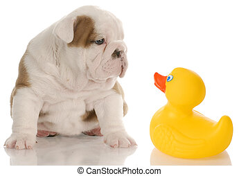 dog bath time - english bulldog puppy sitting beside a yellow rubber duck - 4 weeks old