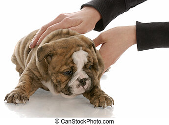 hands picking up five week old english bulldog puppy