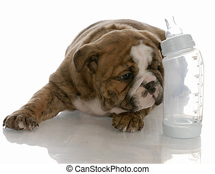 bottle feeding young puppy - english bulldog puppy laying beside baby bottle