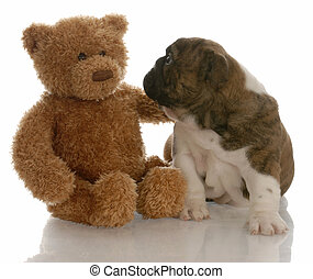 best friends - english bulldog puppy being comforted by...