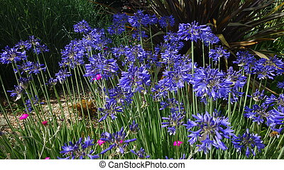 Blue Agapanthus Flowers - Cluster of bright blue agapanthus...