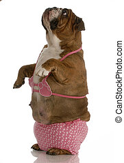 english bulldog wearing pink bikini looking up towards sky