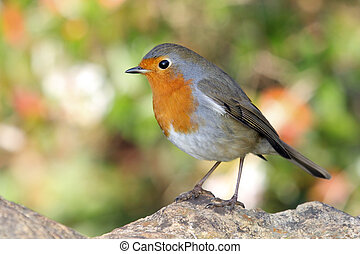 robin redbreast - a portrait of a little and fantastic bird