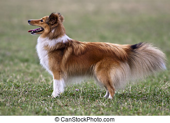 Sheltie - Beautiful sheltie female standing in the grass
