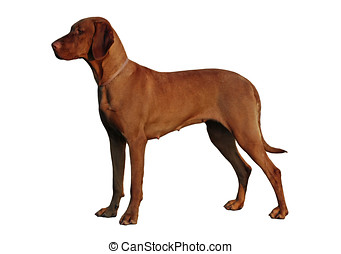 Isolated dog - Isolated Hungarian Vizsla standing