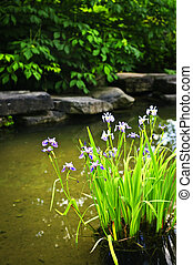 Purple irises in pond - Purple iris flowers in landscaped...