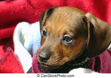 Dog - Dachshund dog