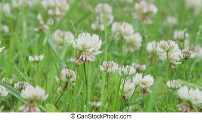 Clover flowers in the rain