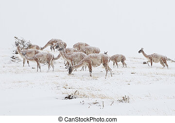 Guanacos in the Snow - Group of Guanacos (Lama guanicoe)...