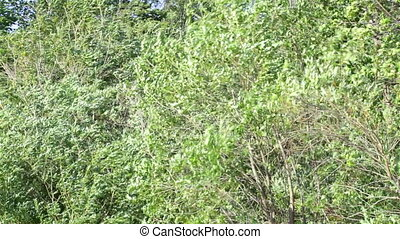 Strong wind in foliage of trees on