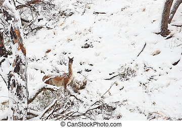 Guanaco in the Snow - Guanaco Lama guanicoe walking through...