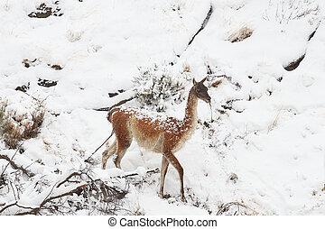 Guanaco in the Snow - Guanaco Lama guanicoe walking through...