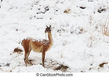 Guanaco, en, el, nieve,