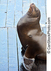 A proud Sea lion showing off at Pier 39 at Fishermans Wharf...