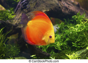 Discus fish ,Symphysodon aequifasciatus - Discus fish...