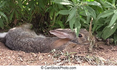 Cottontail Rabbit - a cottontail rabbit hiding under a bush