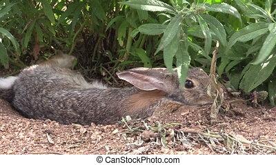 Cottontail Rabbit - a cottontail rabbit hiding under a bush