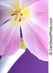 Close-up single tulip flower