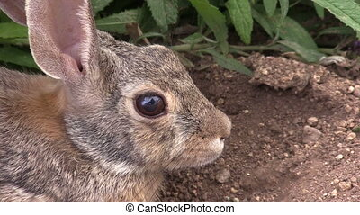 Cottontail Rabbit Portrait - a close up of a cottontail...