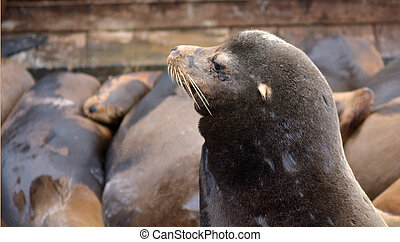 Portrait of a Sea lion at the Sea Lions colony of Pier 39 at...
