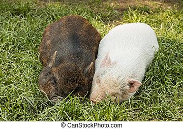 piglets sleeping in grass