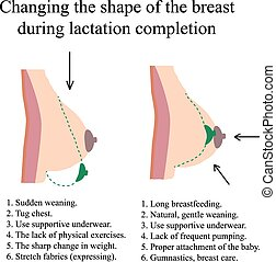 Changing the shape of the breast during lactation...