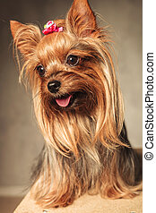 happy yorkshire terrier puppy dog panting