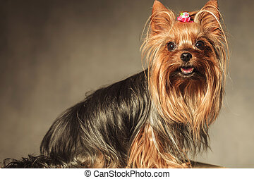 side view of a cute yorkshire terrier puppy dog