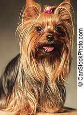 yorkshire terrier puppy dog with mouth open