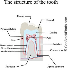 The anatomical structure of the tooth on an isolated...
