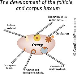 It shows the development of ovarian follicle and corpus luteum. Vector illustration on isolated background