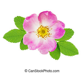 Wild rose - Pink flower of wild rose with green leaves...