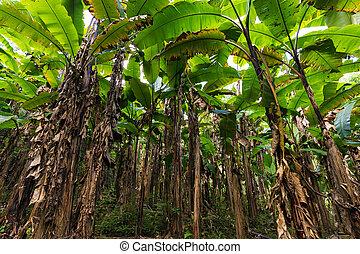 Banana tree plantation